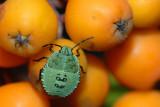 Green Shieldbug, Palomena prasina, Grøn bredtæge - nymfe 1