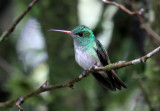 Hybrid Andean Emerald x Rufous-tailed Hummingbird