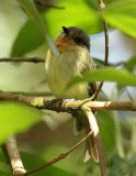 Rufous-breasted Flycatcher