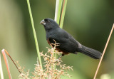 Chestnut-bellied Seed-Finch