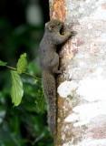 Amazonian Dwarf Squirrel