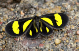 Fam Notodontidae