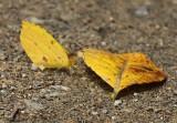 Eurema reticulata
