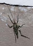 Insect Abra-Patricia