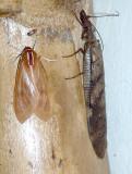 Insect San-Isidro