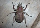 Scarabaeidae sp