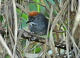 Dark-breasted Spinetail