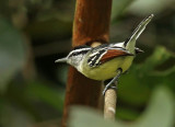 Rufous-winged Antwren