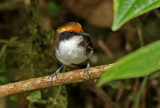 White-browed Antbird