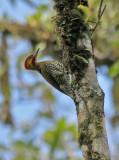 White-throated Woodpecker