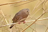 Ecuadorian Ground-Dove