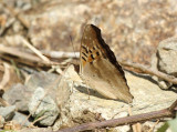 Doxocopa laurentia