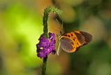 Melinaea sp