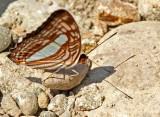 Adelpha iphiclus