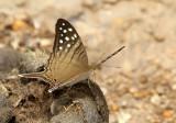 Marpesia merops
