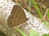 Butterfly Paz-de-las-Antpittas