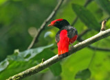 Black-necked Red-Cotinga