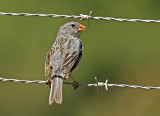 Plain-coloured Seedeater