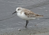 Waders-Calidris