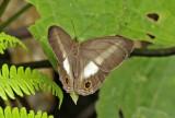 Euptychoides albofasciata