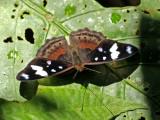 Butterfly-Sani3.jpg