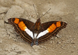 Adelpha sp
