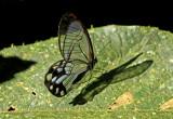 Pseudohaetera hypaesia