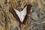 Marpesia zerynthia