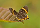 Butterfly-Lumbaqui3.jpg