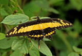 Papilio thorax