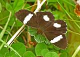 Butterfly Guango
