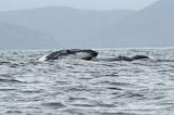 Humpbacked Whale