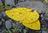 Phoebis neocypris