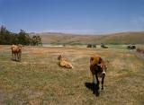 California cows are happy cows
