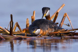 rednecked-grebe-male-approaches-the-female-on-nest.jpg