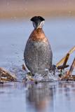 redmecked-grebe-male-dancer-over.jpg