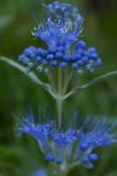 September 04 - Odd Blue Flower