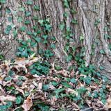 Ivy & Maple