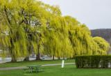 Flowering Willows
