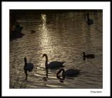 Swanlight