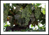 On the vine.jpg