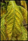 Tobacco-001.jpg