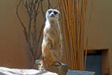 This Meerkat was a real ham