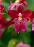 A True Christmas Orchid