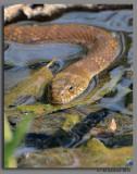 BJR4970 Brown Snake.jpg