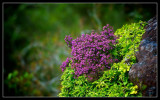 Early Flowering Heather
