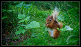 Huntly Red Squirrel
