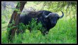 Cape Buffallo
