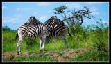 Zebra Resting & Guarding each others Rear.