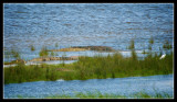 Estuary Crocodiles